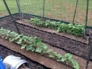 Cucumbers are at the front and green beans are in the back!